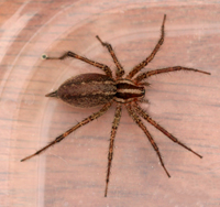Funnel Weaver Spider