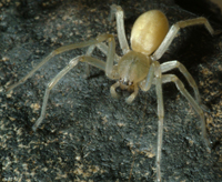 Yellow-legged Sac Spider