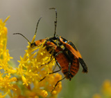 Soldier Beetles
