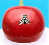 Western Cherry Fruit Fly