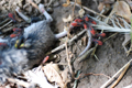 Box Elder Bugs feeding on a dead mouse