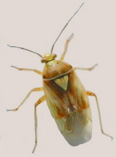 Lygus Bug Adult