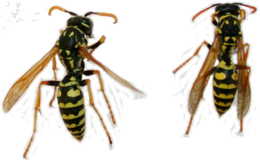 Paper Wasp Vs Yellow Jacket