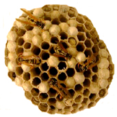European Paper Wasp Nest