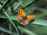 Female Ruddy Copper Butterfly