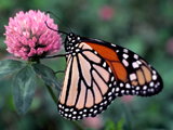 Monarch Butterfly (closed wings)