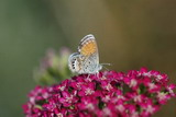 Pygmy Blue Butterfly