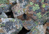 Rockslide Checkerspot Butterfly