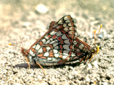 Mating Checkerspot Butterflies
