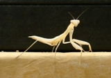 Albino Praying Mantis