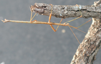 Walkingstick