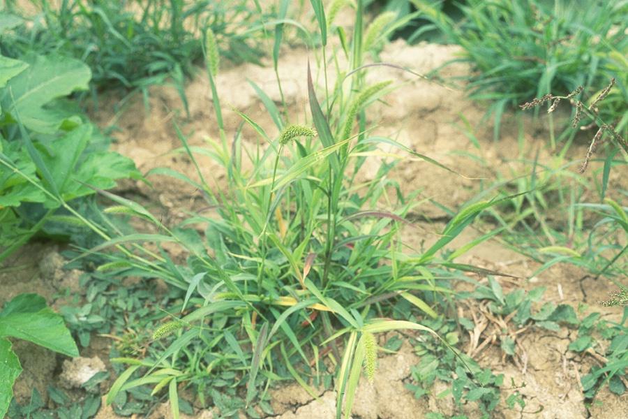 Foxtail BarleyFoxtail Barley Seedling