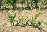 Sweet Corn with High Plians Disease