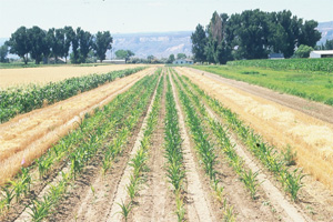 Chemical Control Trial on Sweet Corn for High Plains Disease